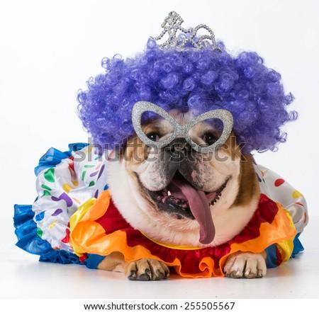 funny dog - english bulldog dressed up like a clown on white background - stock photo