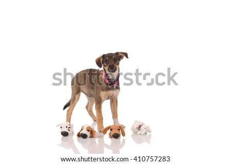 funny dog in the studio - stock photo