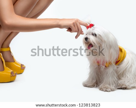 Funny dog. Maltese dog with red bow on head - stock photo
