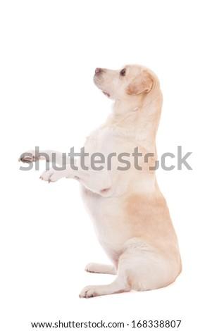 funny dog sitting isolated on white background - stock photo