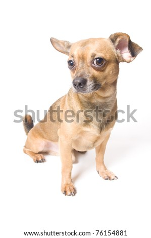 Funny dog with a bent ear isolated over white - stock photo