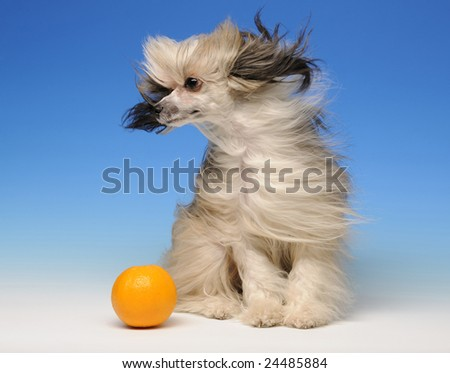 Funny dog with long ears sitting  on blue background with orange - stock photo