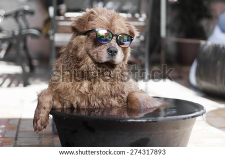 Funny dog with sunglasses enjoying an outdoor bath on basin with water. - stock photo