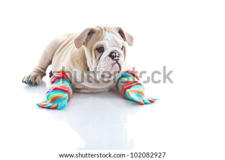 Funny English bulldog puppy in colourful socks isolated - stock photo