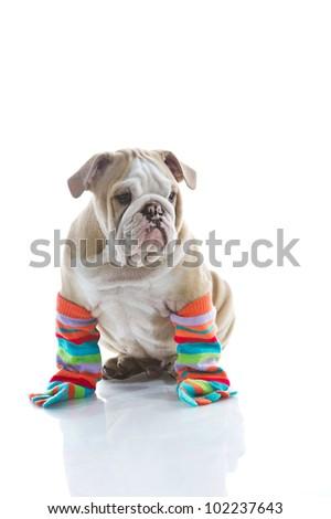 Funny English bulldog puppy in colourful socks isolated - stock photo