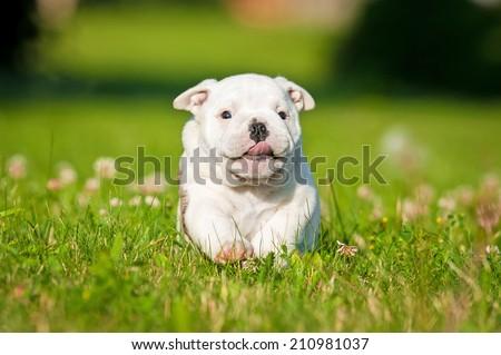 Funny english bulldog puppy running  - stock photo