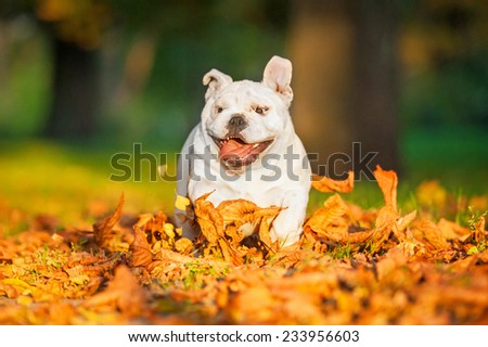 Funny english bulldog puppy running in the park in autumn - stock photo