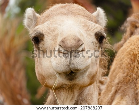 funny face camel big nose - stock photo