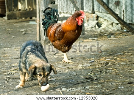 Funny farm scene: dog stealing an egg with a rooster watching him - stock photo