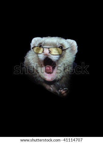 Funny Ferret with tinted glasses - stock photo