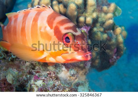 Funny fish close-up portrait. Tropical coral reef scene. Underwater photo. - stock photo