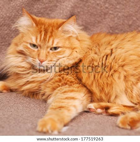 funny fluffy ginger cat lying on brown blanket - stock photo