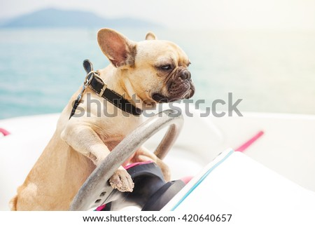 Funny French Bulldog dog is sitting behind the wheel of a speedboat, making a serious look at the background of the sea, sunny summer day. lighting effects - stock photo