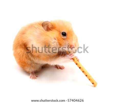 funny ginger hamster trumpeter on isolated white background - stock photo