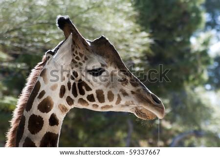 Funny Giraffe Drooling - stock photo