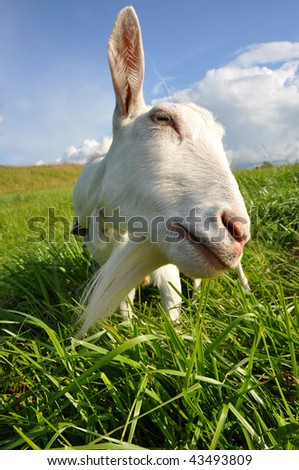 Funny goat looking at the camera - stock photo