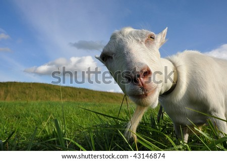 Funny goat on the green meadow - stock photo