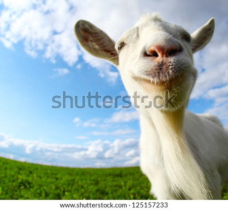 Funny goat's portrait on a green sunny meadow background - stock photo