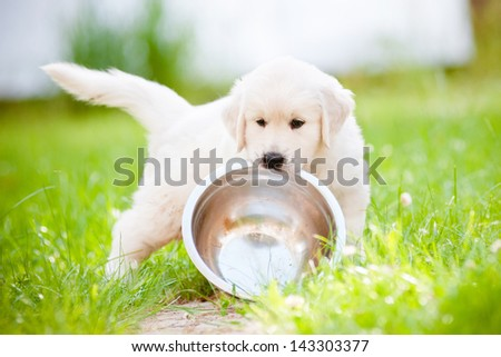 funny golden retriever puppy carrying a bowl - stock photo