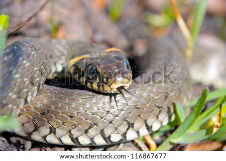 Funny grass snake  taken in early spring - stock photo