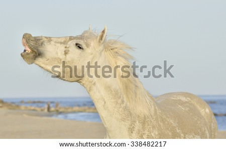 Funny grey horse laughing. Crazy white horse funny portrait on natural background. Close up  - stock photo