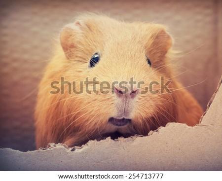 funny guinea pig in a carton - stock photo