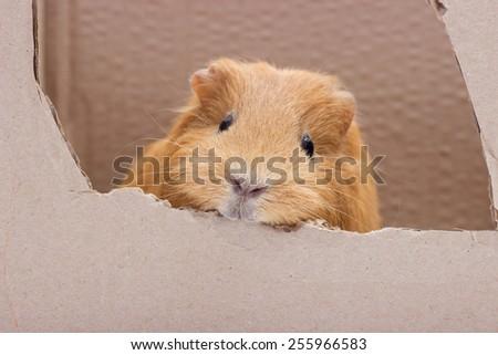 funny guinea pig in a carton box - stock photo