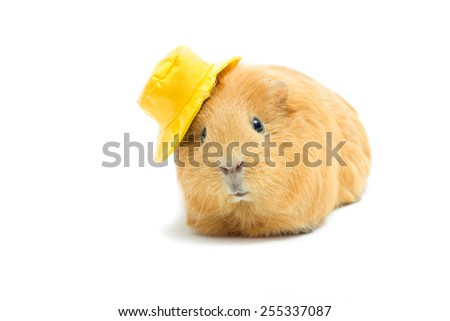 funny guinea pig in a hat - stock photo