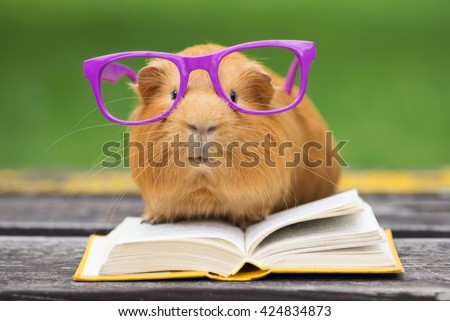 funny guinea pig in glasses reading a book outdoors - stock photo