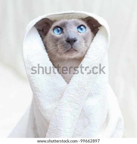 funny hairless oriental cat in towel, peterbald - stock photo
