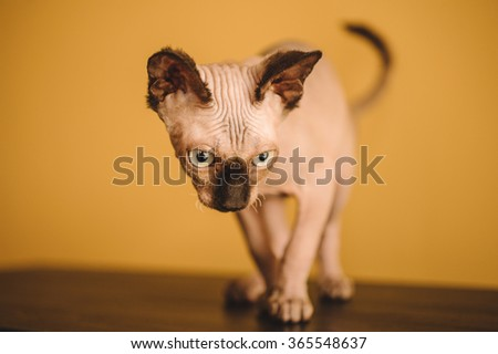 Funny hairless sphynx or sphinx baby cat kitten  - stock photo