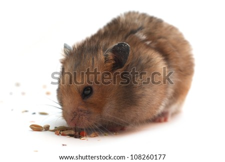 Funny hamster eats on white isolated background - stock photo