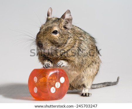 funny hamster with big die block full-length closeup on white background - stock photo