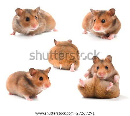 Funny Hamsters Collection - stock photo
