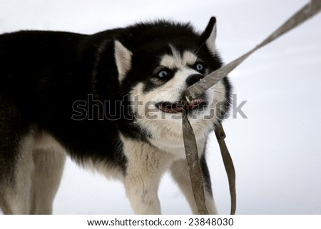 Funny husky dog caught its own leash - stock photo