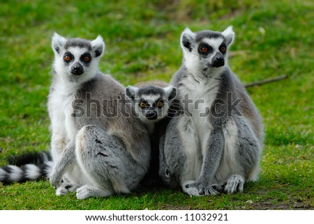 funny image of two ring-tailed lemurs with a baby in the middle looking at the camera - stock photo