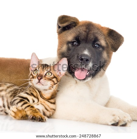 Funny japanese Akita inu puppy dog lying with small bengal cat. isolated on white background - stock photo