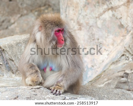 Funny Japanese monkey with a red face and long fur looking away - stock photo