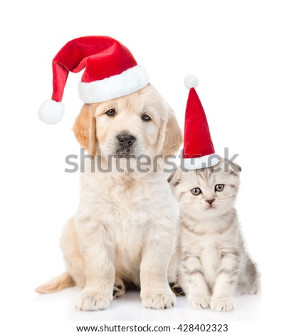 Funny kitten and golden retriever puppy in red christmas hats together. isolated on white background - stock photo