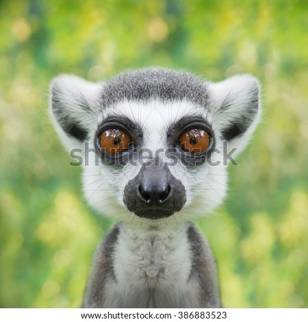 funny lemur face close up with big eyes - stock photo
