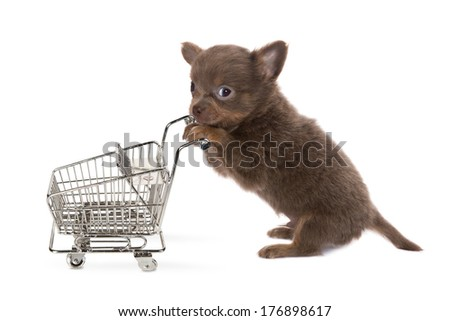Funny little chihuahua puppy shopping with a trolley - stock photo
