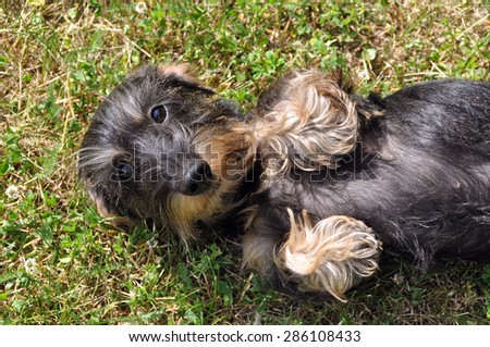 funny little dachshund dog lying on the grass paws up - stock photo