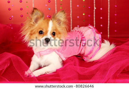 funny little dog in pink dress on red background - stock photo