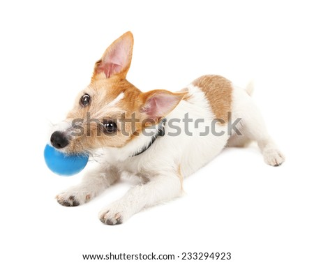 Funny little dog Jack Russell terrier playing with ball, isolated on white - stock photo