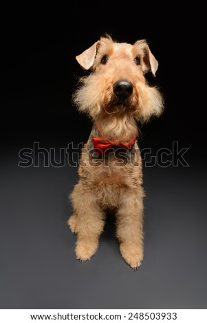 Funny little hipster. Portrait of black brown Airedale Terrier dog with a bow tie isolated on black background - stock photo