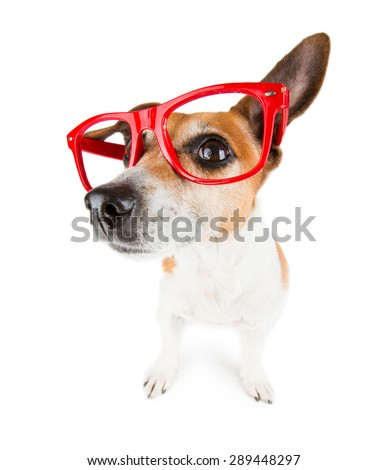 Funny little Jack Russell terrier wearing glasses distorted by wide angle closeup.  - stock photo