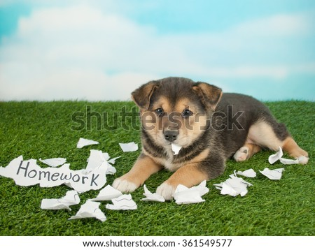 Funny little Shiba Inu puppy that looks like she just shred someones homework and is eating it. - stock photo