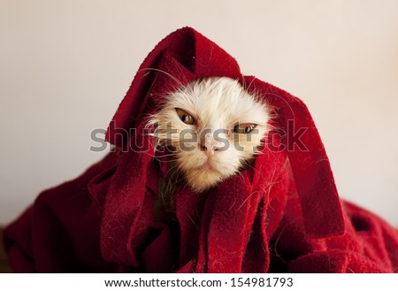 Funny little wet white Persian kitten after a bath - stock photo