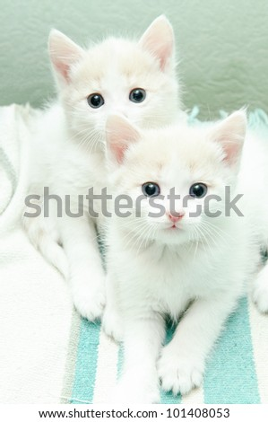 funny little white kitten with blue eyes - stock photo
