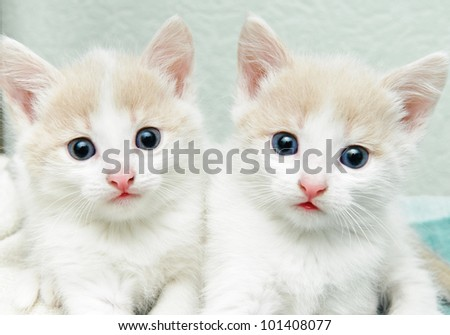 funny little white kitten with blue eyes - stock photo